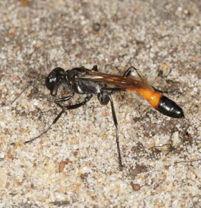 Bộ sưu tập côn trùng 2 - Page 2 Ammophila-pubescens-8
