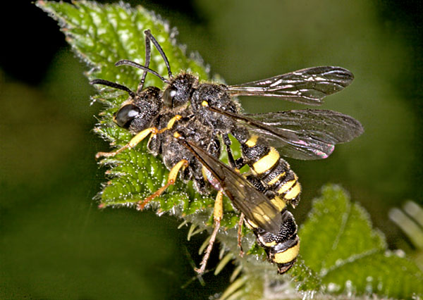 Cerceris rybyensis mating