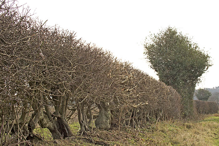 Hedgerow in winter