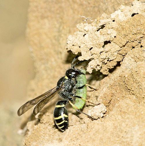 Heathland sandpits other wasps