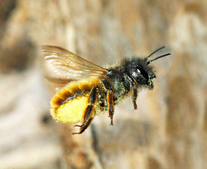 Bees and wasps in flight