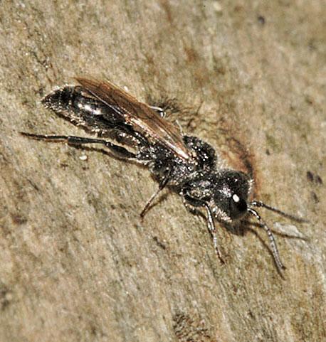 Types of black wasps - photo#5