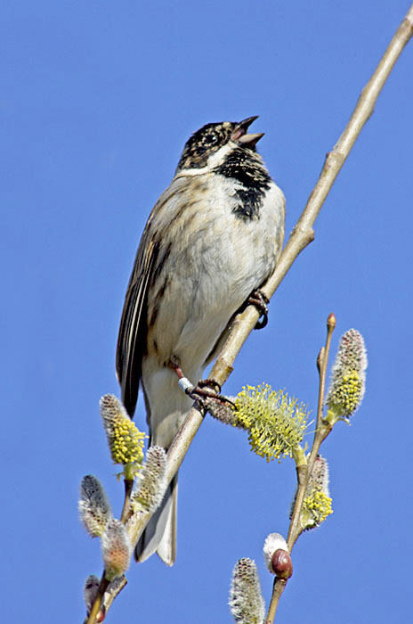 Singing male Reed Bunting (Emberiza schoeniclus) with a ring on his leg