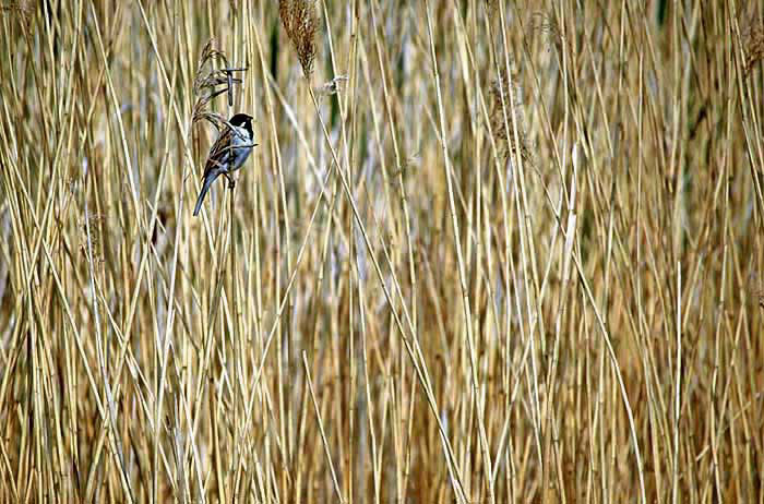Reedbed with male Reed Bunting (Emberiza schoeniclus)