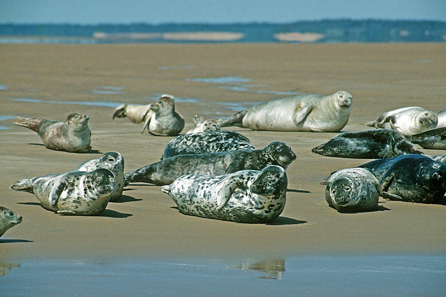 Seals basking on the north Norfolk coast