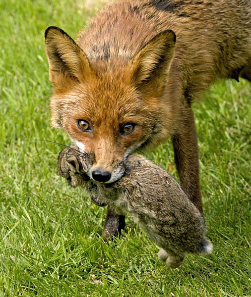 Red fox eating rabbit - photo#27